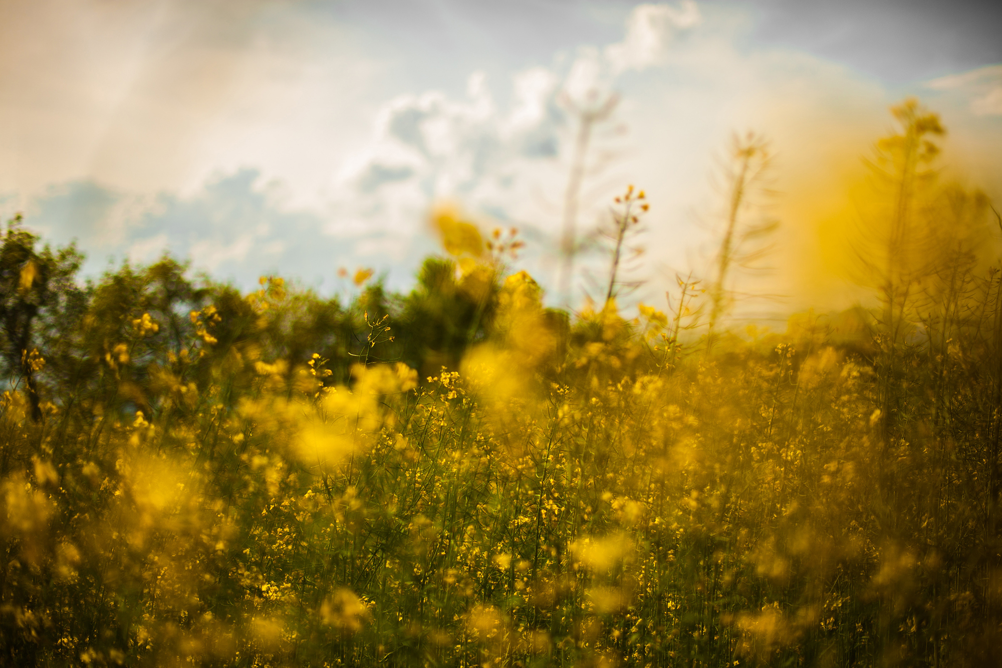 WebRS 2000x1333 yellow flower field.jpg